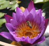 Abeille dans une fleur