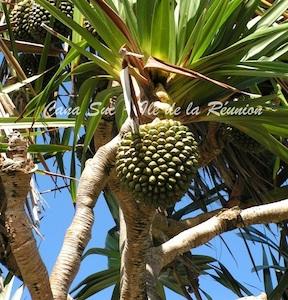 Fruit du Pin-pin