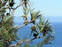 Pandanus - Vacoa - arbre à Pin-pin