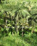 palmisterouge