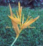 Balisier - heliconia accuminata