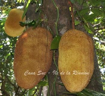 Fruit du jaquier